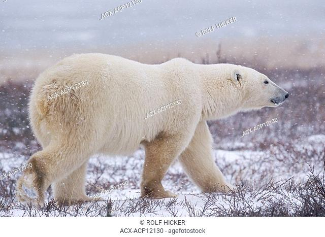 Polar Bear, Ursus maritimus, walking on the tundra near the shores of Hudson Bay, Churchill, Manitoba, Canada