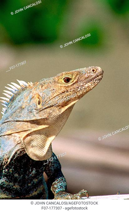 Spiny Tailed Iguana (Ctenosaura similis)