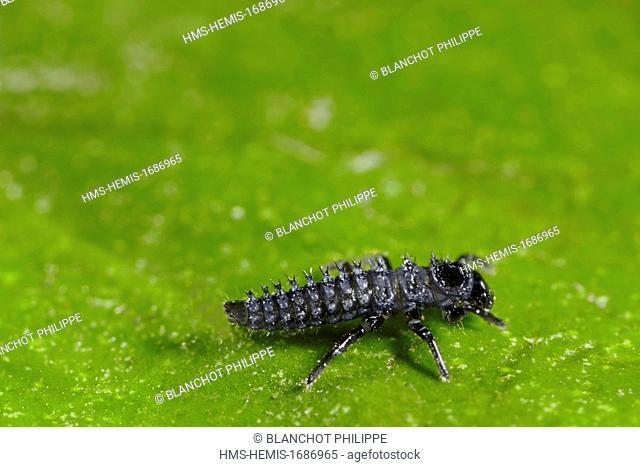 France, Coleoptera, Coccinellidae, Harlequin ladybird, Multicolored Asian lady beetle or Halloween lady beetle (Harmonia axyridis), second larval instar