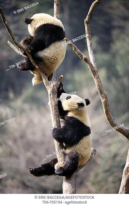 Two subadult giant panda climbing in a tree (Ailuropoda melanoleuca) Wolong Nature Reserve, China
