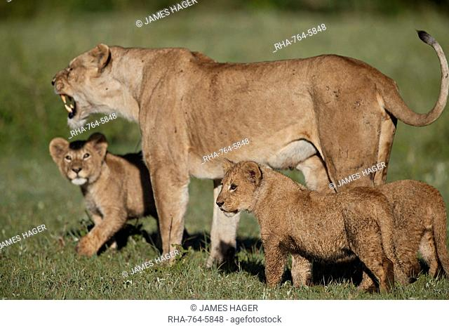 Lion (Panthera leo) cubs and their mother, Ngorongoro Crater, Tanzania, East Africa, Africa