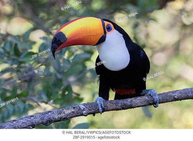 Toco Toucan (Ramphastos toco) Pantanal, Brazil