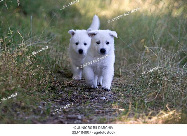 Berger Blanc Suisse. Two puppies (5 weeks old) running towards the camera