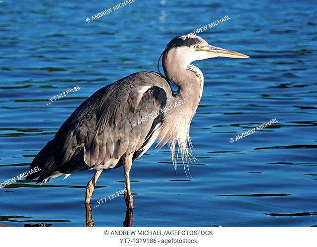 A grey heron seen in the Serpentine in Hyde park, London, in early morning light