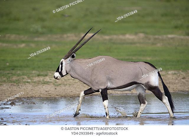 Gemsbok (Oryx gazella), Kgalagadi Transfrontier Park, Kalahari desert, South Africa/Botswana