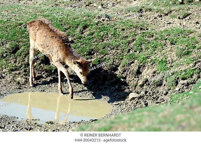 Red deer, red deer, antlers, antler bearer, Cerviden, Cervus elaphus, deer, deer, red deer, hoofed animals, summers, deer summers, phloem, phloem deer