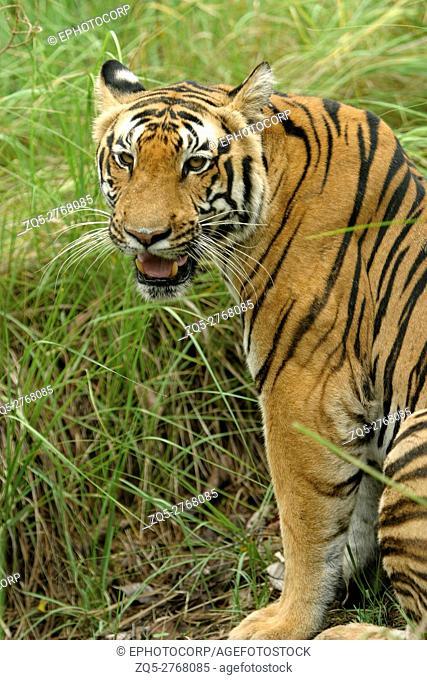 Panthera Tigers, Female Tiger - Kanha Tiger reserve, Madhya Pradesh, India