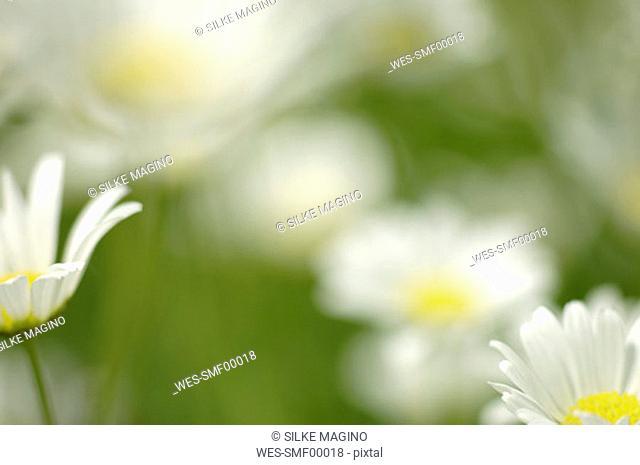 Daisy, close-up