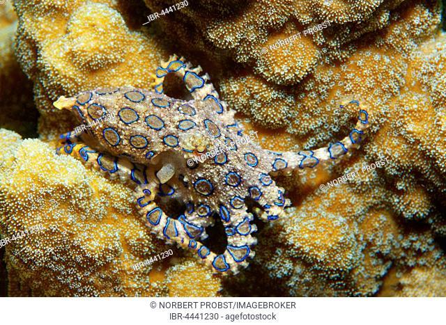Greater blue-ringed octopus (Hapalochlaena lunulata), venomous, Bunaken National Park, Sulawesi, Celebes Sea, Indian Ocean, Indonesia