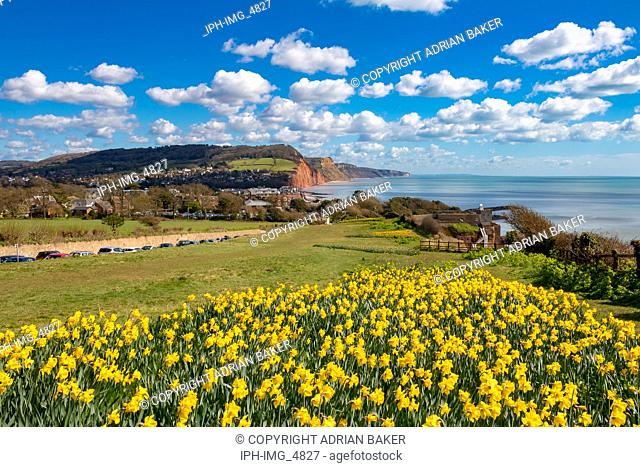 England Devon Sidmouth 31 March, 2016 Beautiful springtime view of this popular seaside town showing daffodils in the foreground and the red cliffs of the area...