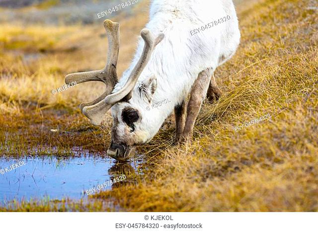 Reindeer drinking water at Svalbard. Summer in the arctic environment near Longyearbyen
