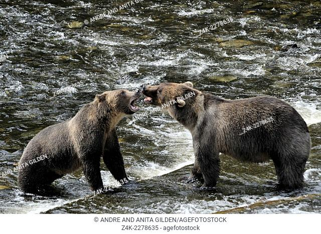 Two Grizzly Bears (Ursus arctos horribilis) quarreling at Glendale river, Canada