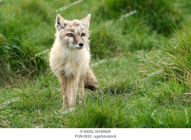 Corsac or Steppe fox Vulpes corsac Alert adult