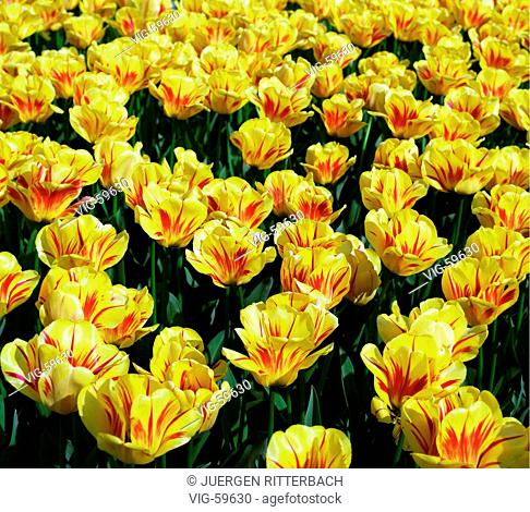 Field with yellow tulips. - JUELICH, GERMANY, 28/04/1998