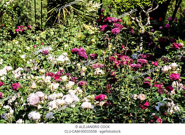 Roses of the Gardens of the Alhambra, Granada, Andalusia, Spain, Europe