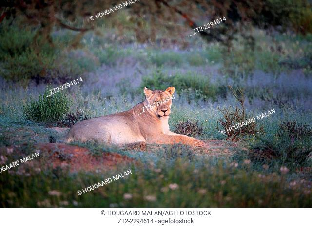 Wide view of a lioness in golden early morning light. Kgalagadi Transfrontier Park, Southern Africa