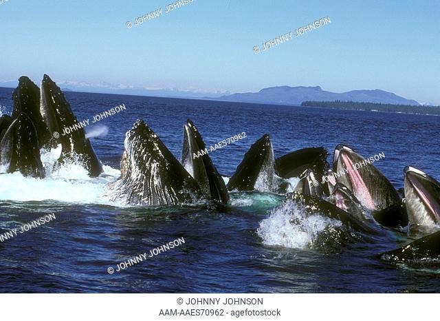 Humpback Whales bubble-net feeding, Frederick Sound, SE AK (Megaptera novaeangliae)