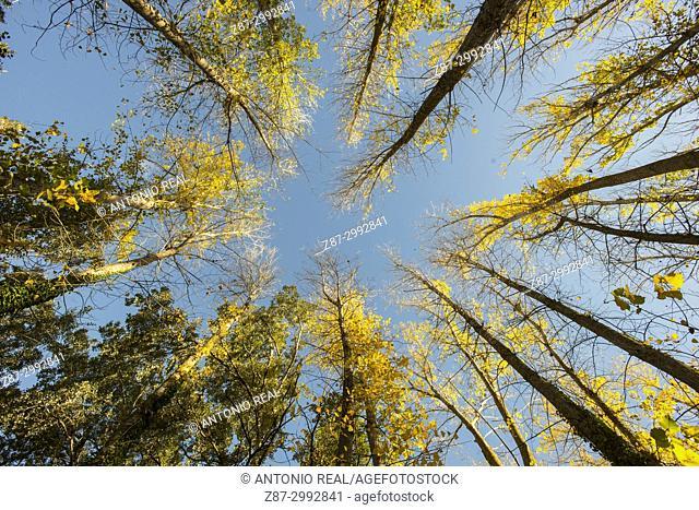 Autumn forest. Canadian poplars (Populus x canadensis). Almansa. Albacete province. Spain