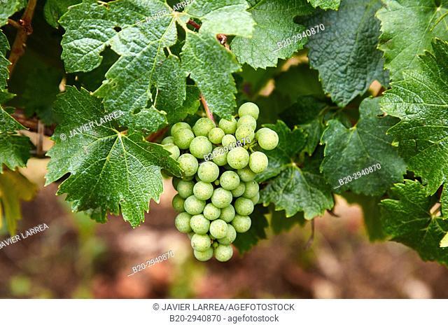 Vineyards of Chardonnay, Chablis, Yonne, Bourgogne, Burgundy, France, Europe