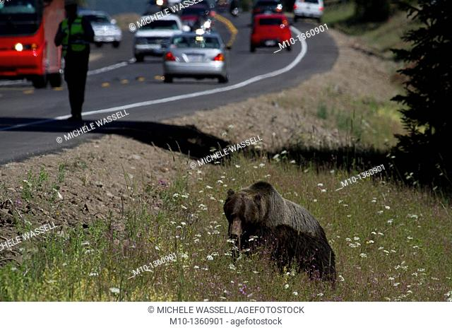 Grizzly bear between Yellowstone National Park and Grand Tetons National Park, Wyoming, USA