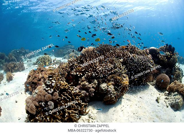 tropical coral reef with fishes at Menjangan, Bali, Indonesia, Asia