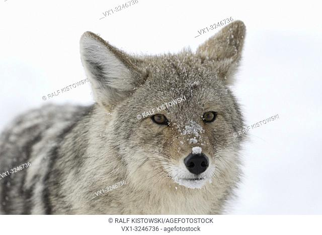 Coyote / Kojote ( Canis latrans ), adult, in winter, in snow, close-up, headshot, watching, frontal view, covered with snowflakes, Yellowstone NP, USA