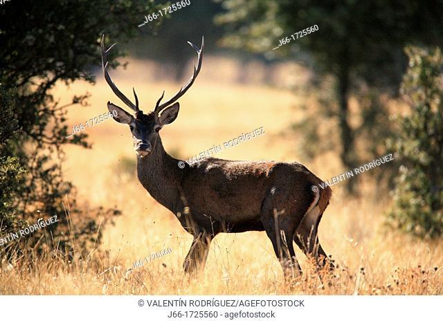 Male deer Cervus elaphus in the National Park Cabañeros