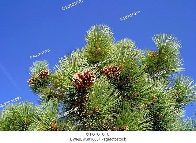Jeffrey pine Pinus jeffreyi, female cones, USA, California