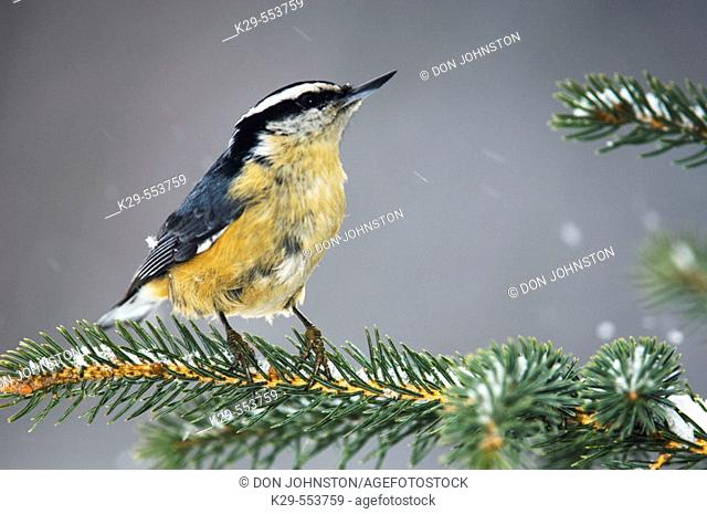 Red breasted nuthatch (Sitta canadensis). Winter resident perched in spruce bough. Lively, Ontario