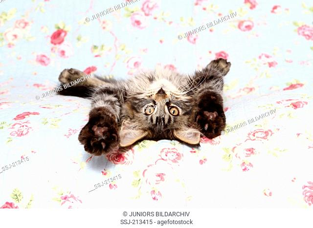 American Longhair, Maine Coon. Kitten lying on its back on a blue blanket with rose flower print. Germany