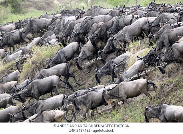 Herd of Blue Wildebeest (Connochaetes taurinus) running down riverbank for crossing the Mara River, Serengeti national park, Tanzania