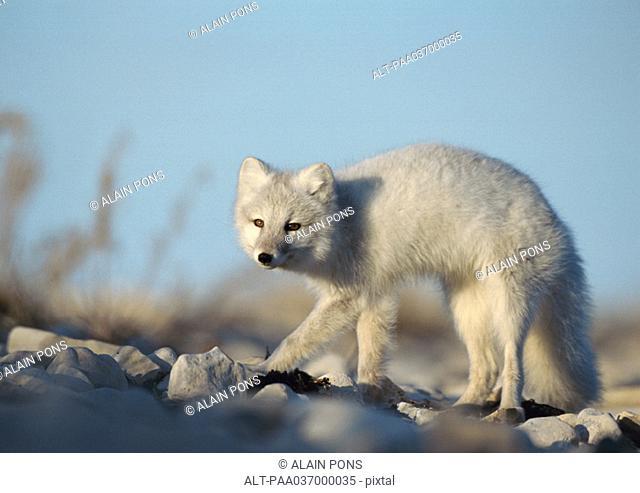 Canada, arctic fox