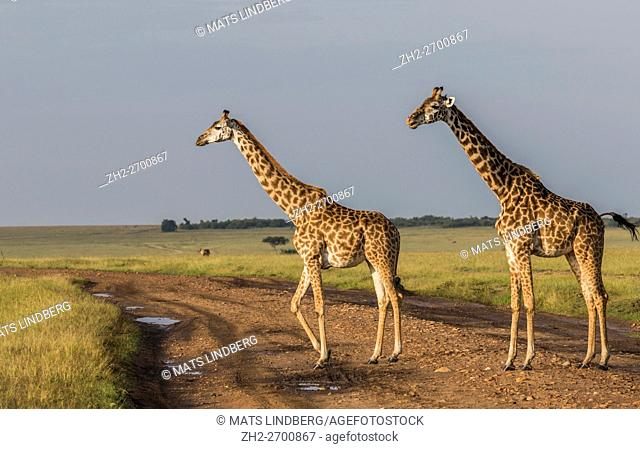 Two Giraffes in nice warm light on the savanna in Masai Mara, Kenya, Africa