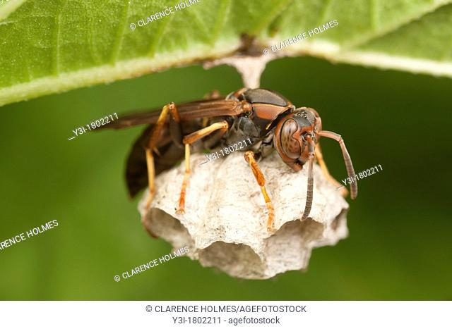 A female Northern Paper Wasp Polistes fuscatus tending eggs in a nest hanging from the bottom of a leaf, Ward Pound Ridge Reservation, Cross River