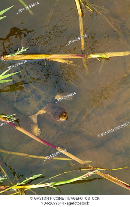 Serrated hinged Terrapin (Pelusios sanautus), in the river, Kruger National Park, South Africa