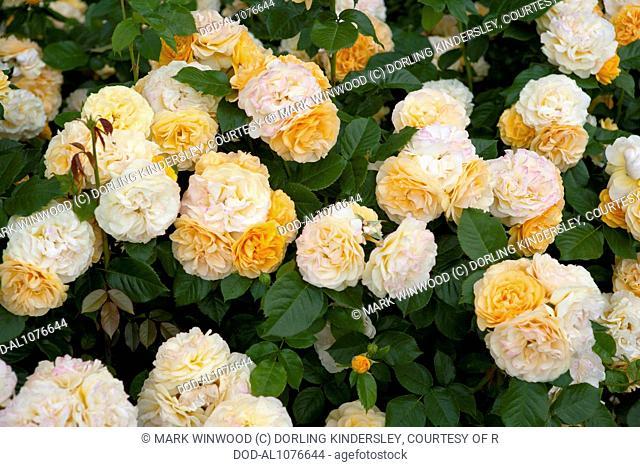 Rosa Absolutely Fabulous ('Wekvossutono')