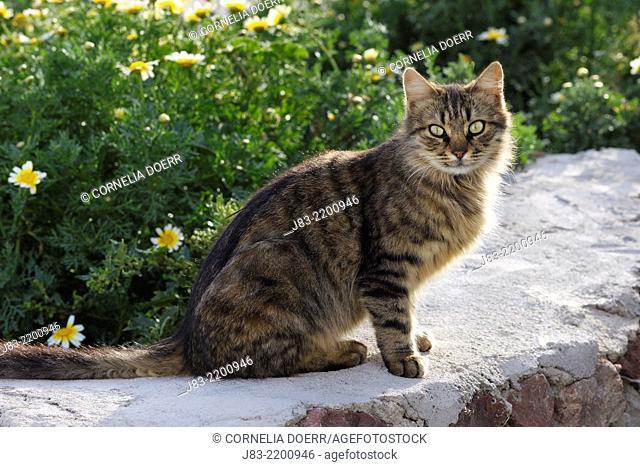 Tabby cat sitting on wall, long hair, Oia village, Santorini, Cyclades Island, Greek Islands, Greece, Europe