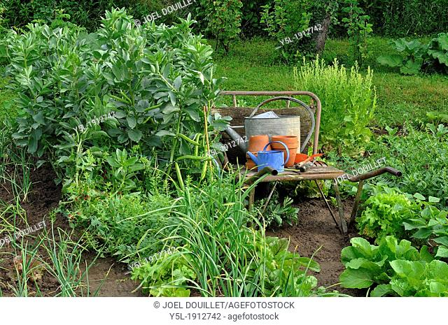 A corner ot the vegetable garden, allotments of vegetables : shallots, garlic, leafy goosefoot, fava beans, chinese cabbage, lettuce 'Val d'Orge'