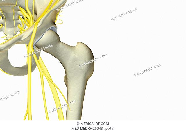 The nerves of the hip