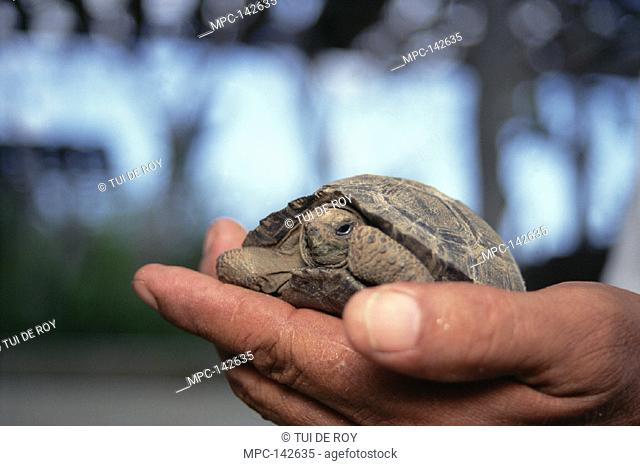 PARK WARDEN CHECKING HATCHLING, GIANT  TORTOISE BREEDING PROGRAMME, OPERATED JOINTLY BY GALAPAGOS NATIONAL PARK AND  CHARLES DARWIN RESEARCH STATION, GALAPAGOS