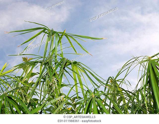 Umbrella papyrus (Cyperus papyrus) and blue sky