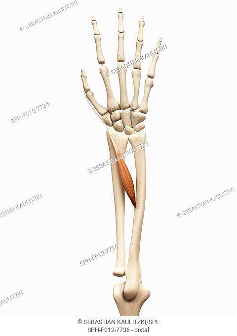 Human arm muscle (extensor policis longus), illustration