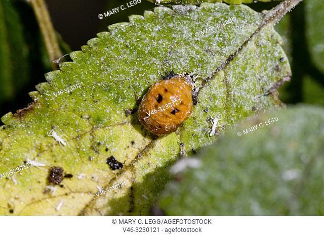 Ladybird pupae, Seven-spotted ladybird, Coccinella septempunctata
