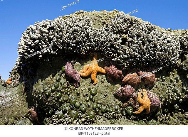 Tide pool with Sea Stars, Ochre Sea Stars (Piaster ochraceus), and Goose Barnacles (Lepas anserifera), Pacific Coast, Olympic National Park, Washington, USA