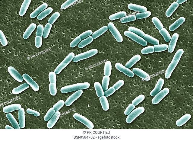 ESCHERICHIA COLI<BR>Scan electron micrography