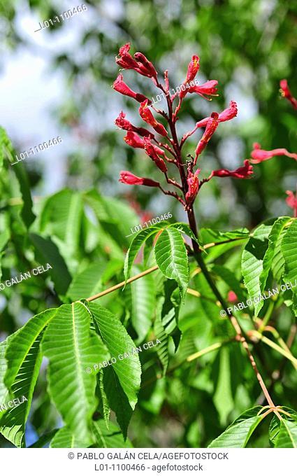 Aesculus pavia 'atrosanguinea'