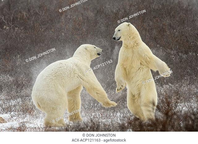 Polar Bear (Ursus maritimus) Interaction and sparring