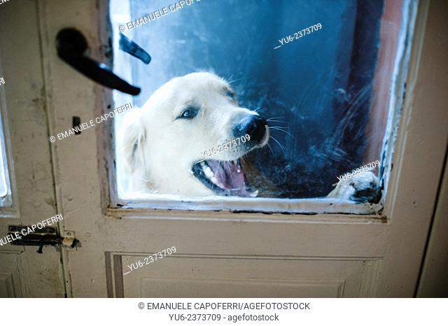 Golden retriever dog at the door wants to come, he looks from the windows