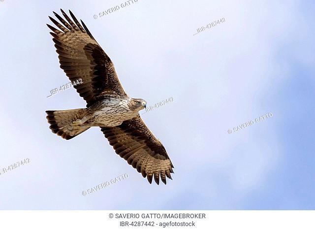 Bonelli's Eagle (Aquila fasciata), adult, in flight, Tawi Atayr, Dhofar, Oman
