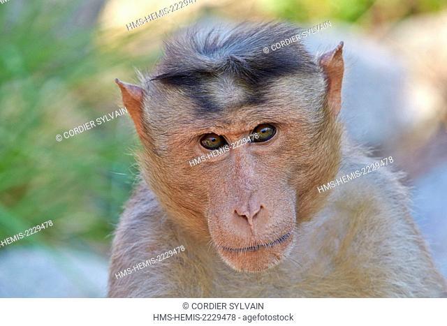 Asia, India, Karnataka, Sandur Mountain Range, Bonnet macaque (Macaca radiata), adult male